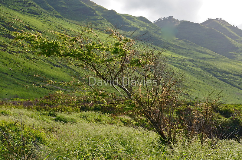 Lonesome Tree, Kaena State Park by David Davies