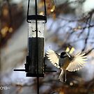 Chickadee by JoeDavisPhoto