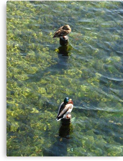 The Ducks of Ventimiglia by hans p olsen