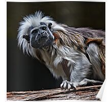 Cotton-Top Tamarin Poster