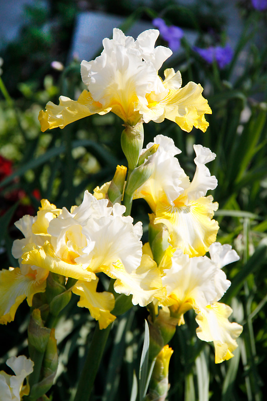 Yellow Iris by Jay Reed