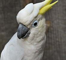 Sulphur Crested Cockatoo by GreyFeatherPhot