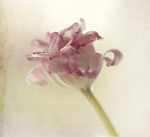 Tulip by Debbie Allan