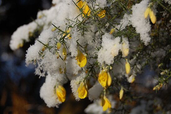 Snow Covered Flowers by AmandaFoss87