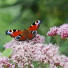 Butterfly on flower by AmandaFoss87