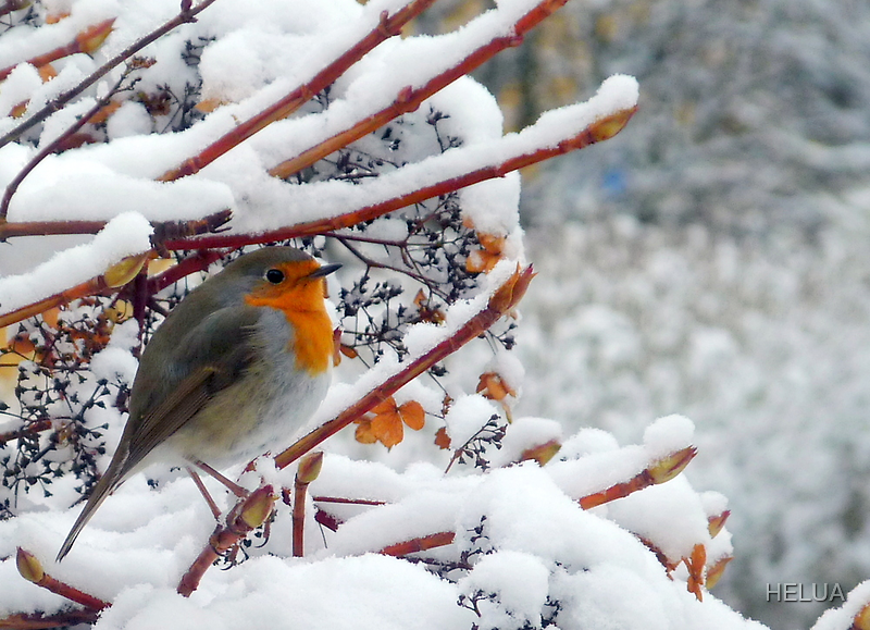 Robin in a Cold Climate by HELUA