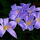 Autumn Crocuses by cclaude