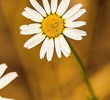 Daisy1 by John Velocci