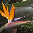 Bird of Paradise                                                                                                              by seeingred13
