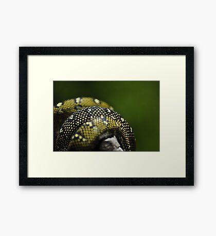 Pythons in a twist Framed Print