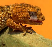 Knob Tailed Gecko Licking Eyeball by Ian Mitchell