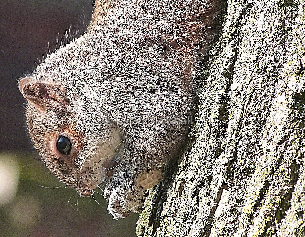 Squirrels in the Park. by Lilian Marshall