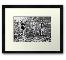 Three Goats B&W Framed Print