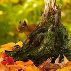 Red Squirrel by David Barnes