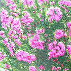 Sunshine on flowers by annabrazao