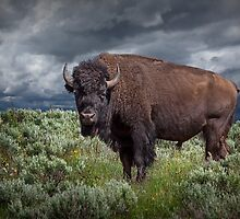 Bison in Yellowstone by Randall Nyhof