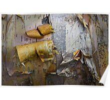 Birch Tree Bark Poster