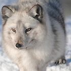 Arctic Fox by Dorothy Thomson