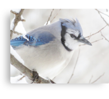 Not Another Blue Jay!!!! Metal Print