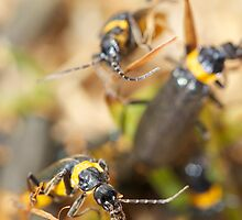 Soldier Beetles by David Toolan