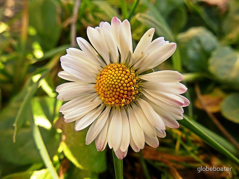 Spring...!!! (Bellis perennis) by globeboater