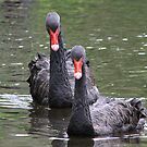 Black Swans by CMCetra