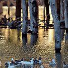Wooloondool Ducks by Mark Cooper
