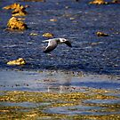 Laughing Gull skimming the water by AndreCosto