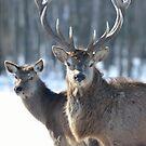 Buck or Bull? You Decide by Groovydawg