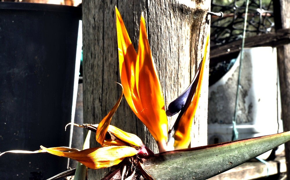 Bird of Paradise - final days by Mark Batten-O'Donohoe