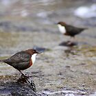 dipper Cinclus cinclus brecon beacons by blakmountphoto