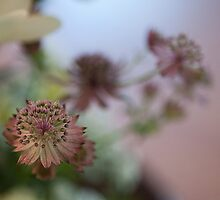Pink Astrantia by Gillian Cross