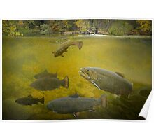 Stream Brown Trout Feeding Poster