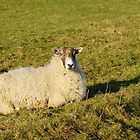 Pregnant Sheep In February 1 by glynk