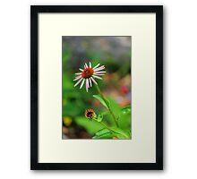 Echinacia purpurea Framed Print