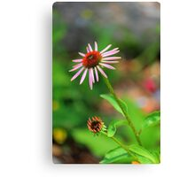 Echinacia purpurea Canvas Print