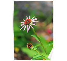Echinacia purpurea Poster