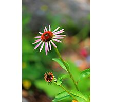 Echinacia purpurea Photographic Print