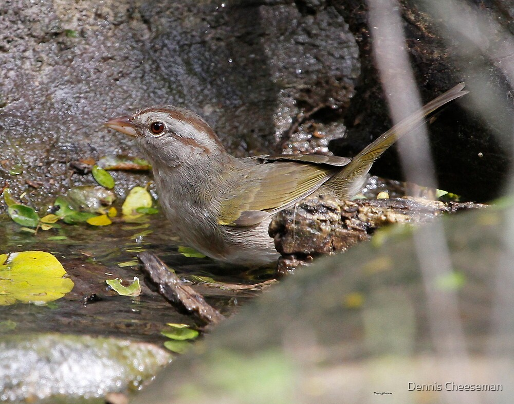 Olive Sparrow by Dennis Cheeseman