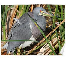 Tri color Heron Poster
