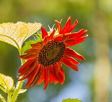 Sunflower 6 by John Velocci