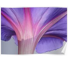 Macro of a Pale Lilac and Pink Morning Glory Poster