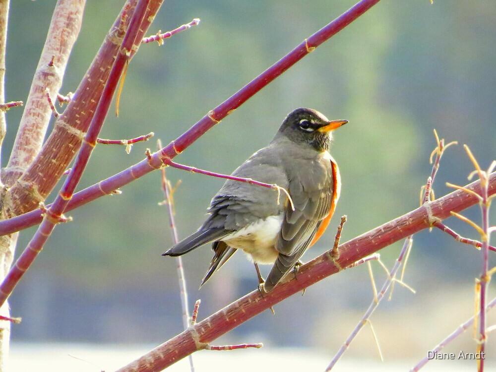 Early Robin by Diane Arndt