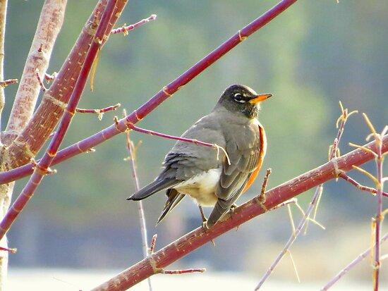 Early Robin by trueblvr