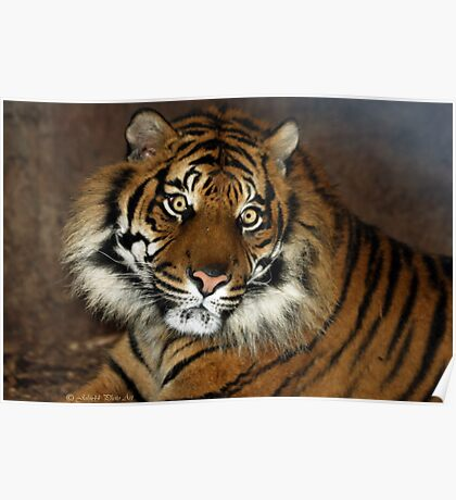..a Tiger in textures.. Poster