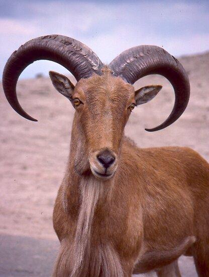 Brown Mountain Goat by Jonathan  Green