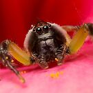 (Mopsus mormon male) Jumping Spider by Kerrod Sulter