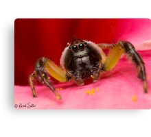 (Mopsus mormon male) Jumping Spider Canvas Print