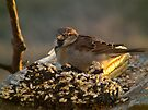 House Sparrow in Golden Light by Deb Fedeler