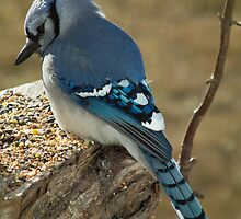 Blue Jay in Contemplative Mood by Deb Fedeler